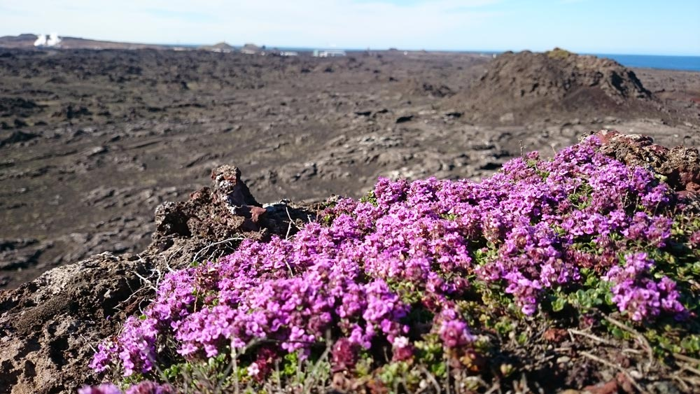 Wild thyme blooming in black lava